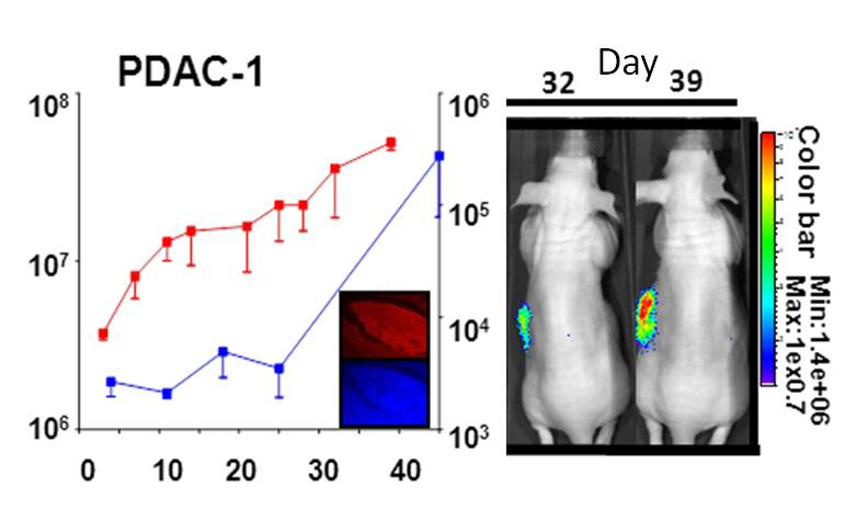 First study on our novel preclinical models